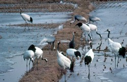 red-crowned-crane3