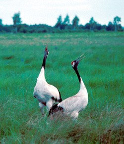 red-crowned-crane2